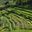 Indonesian farmers harvesting in rice terraces — Stock Photo