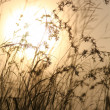 Grasses against sunlight over sky background in sunset — Stock Photo