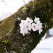 Cherry blossom or Sakura blooming in Japan — Stockfoto