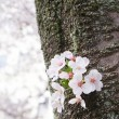 Cherry blossom or Sakurblooming in Japan — Stock Photo #34913989