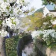 Cherry blossom or Sakura blooming in Japan — Stock Photo