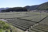 早いばねの収穫の準備ができて緑茶ファーム — ストック写真