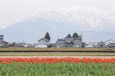 Tulip farm — Stock Photo