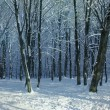 Winter woods — Stock Photo