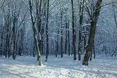 Winter woods — Foto de Stock