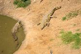 Crocodiles in a row — Stock Photo