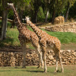 Two giraffe — Stock Photo #26808621
