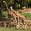 Stock Photo: Two giraffe