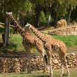 Two giraffe — Stock Photo #26808637