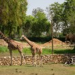 Two giraffe — Stock Photo #26808679