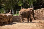 Elephant walking — Stock Photo