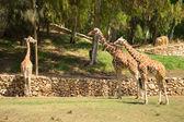 Família girafa — Foto Stock