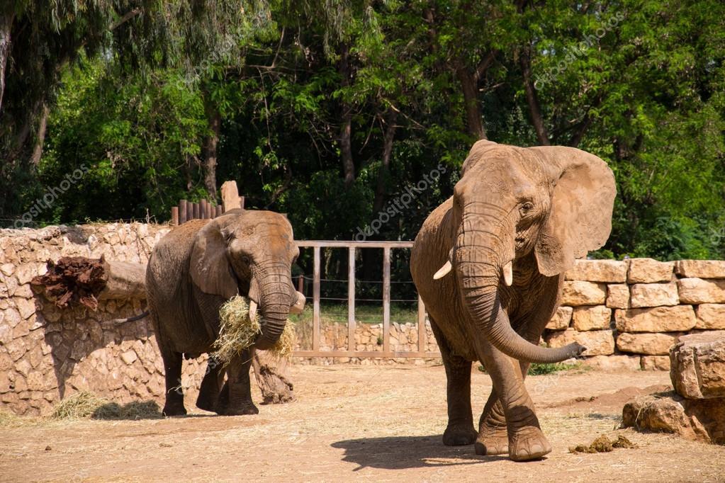 大象在动物园吃干草 — 照片作者 slavamalai