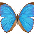 Blue Morpho Butterfly (Menelaus Blue Morpho, Morpho menelaus) - Stock Photo