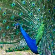Peacock with fanned tail — Stock Photo