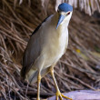 Beautiful Black-Crowned Night Heron (Nycticorax nycticorax) - Stock Photo