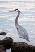 Grey heron (Ardea cinerea ) — Stock Photo