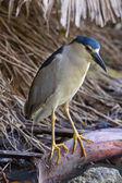 Beautiful Black-Crowned Night Heron (Nycticorax nycticorax) — Stock Photo