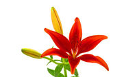Morning star lily (lilium concolor) — Stock Photo