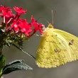 Stock Photo: Cloudless Sulphur - Phoebis sennae