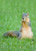 Squirrel with nut — Foto de Stock