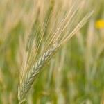 Rye field — Stock Photo #26029925