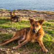 Stock Photo: Stray dogs at coast