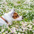 Royalty-Free Stock Photo: Dog at spring
