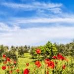 rode bloemen en olijfboom op Lente in een — Stockfoto