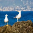 Two seagulls — Stock Photo
