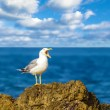 Stock Photo: Screams of seagull
