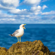 The screams of a seagull — Stock Photo
