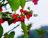 Winter berries — Stock Photo