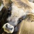 Stock Photo: Primitive ox