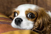 The cavalier king — Stock Photo