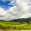 A vineyard in the Tuscan countryside. — Stock Photo