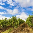 Stock Photo: Vineyard in Tusccountryside.