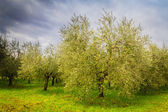 Olive trees in Tuscany — Stockfoto