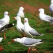 A group of Silver Gull on the green grass at Circular Quay, Sydney — Stock Photo