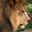 Portrait of a big male African lion — Stock Photo #18353835