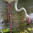 Pink Flamingo — Stock Photo #24849677