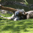 Bengal tiger — Stock Photo #24849751