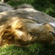 Lion is sleeping — Stock Photo #24849753