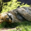 Sleeping Male Lion — Stock Photo