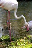 Pink Flamingo — Stock Photo
