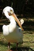 Pelikan w zoo — Zdjęcie stockowe