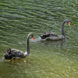Stock Photo: Couple of young black swans on pond in park