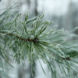 Stock Photo: Pine needles in hoarfrost