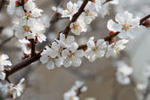 Apricot Blossom in Early Spring — Stock Photo