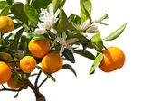 Tangerines on the tree. — Stock Photo